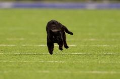 Cowboys Vs. Giants Game Interrupted By Pesky Black Cat, Twitter Reacts