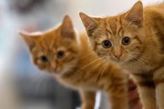 Two Pet Cats Test Positive For COVID-19 In New York