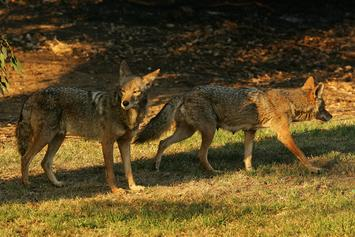 Coyotes Popping Up All Around New York City: Report